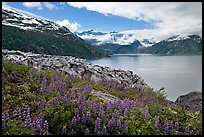 Lupine, Lamplugh glacier, and turquoise bay waters. Glacier Bay National Park, Alaska, USA. (color)