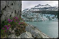 Rock ledge with dwarf fireweed, Lamplugh glacier, and Mt Cooper. Glacier Bay National Park, Alaska, USA. (color)