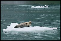 Seal hauled out on iceberg. Glacier Bay National Park, Alaska, USA. (color)