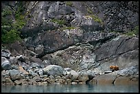 Grizzly bear on rocks by the water. Glacier Bay National Park, Alaska, USA.