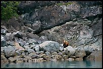 Grizzly bear and boulders by the water. Glacier Bay National Park, Alaska, USA.
