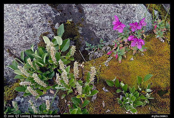 Moss, dwarf fireweed, and rocks. Glacier Bay National Park (color)