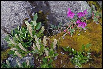 Moss, dwarf fireweed, and rocks. Glacier Bay National Park ( color)