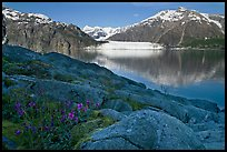 Dwarf fireweed, with Mount Fairweather and Margerie Glacier across bay. Glacier Bay National Park, Alaska, USA. (color)