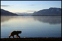 Alaskan Brown bear (Ursus arctos) on the shore of Naknek lake. Katmai National Park ( color)