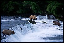 Overview of Brown bears fishing at the Brooks falls. Katmai National Park ( color)