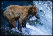 Brown bear holding in mounth  salmon at Brooks falls. Katmai National Park ( color)