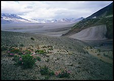 Wildflowers growing on foothills bordering the Valley of Ten Thousand smokes. Katmai National Park ( color)