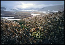 Wildflowers, pumice, and distant peaks in storm, Valley of Ten Thousand smokes. Katmai National Park ( color)