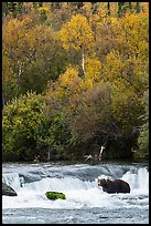 Brown Coastal Bear at Brooks Falls in autumn. Katmai National Park ( color)
