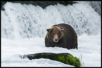 Fat brown bear at Brooks Falls. Katmai National Park ( color)