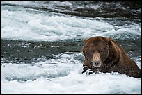 Coastal Bear in Brooks River. Katmai National Park ( color)