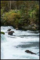 Grizzly Bears gathered at Brooks Falls. Katmai National Park ( color)