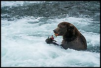 Brown Bear eating salmon, Brooks River. Katmai National Park ( color)