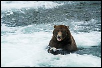 Grizzly Bear eating a salmon, Brooks River. Katmai National Park ( color)