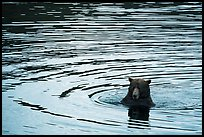 Bear and ripples, Brooks River. Katmai National Park ( color)