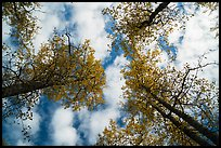 Looking up cottonwoods trees in autumn. Katmai National Park ( color)