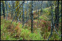 Forest and undergrowth in autumn. Katmai National Park ( color)