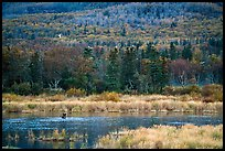 Wetlands and forest with distant bear and seagulls. Katmai National Park ( color)