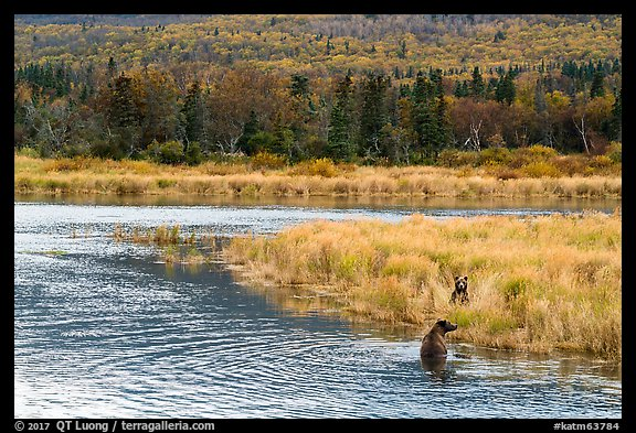 Bears in autumn grasses, Brooks River. Katmai National Park (color)