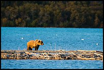 Grizzly bear walking on gravel bar, Naknek Lake. Katmai National Park ( color)
