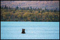 Brown Bear and seagull, Naknek Lake. Katmai National Park ( color)