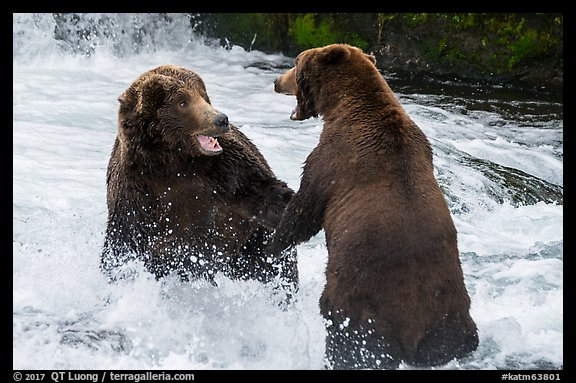 Brown bears fighting, Brooks River. Katmai National Park (color)