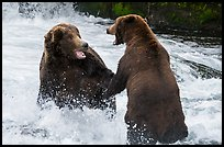Brown bears fighting, Brooks River. Katmai National Park ( color)