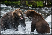 Grizzly bears fighting in Brooks River. Katmai National Park ( color)