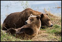 Sow and bear cub sleeping. Katmai National Park ( color)