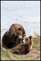 Sow and grizzly bear cub. Katmai National Park ( color)