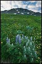 Lupine, buttercups, and rocky ridge. Kenai Fjords National Park ( color)
