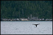 Whale fluke and forest, Aialik Bay. Kenai Fjords National Park ( color)