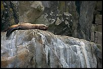 Stellar sea lion sleeping on rock. Kenai Fjords National Park, Alaska, USA.