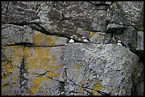 Puffins on rock wall. Kenai Fjords National Park, Alaska, USA.