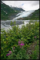 Dwarf fireweed and Exit Glacier. Kenai Fjords National Park, Alaska, USA. (color)