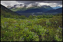 Dwarf Lupine and cloudy Resurection Mountains. Kenai Fjords National Park ( color)