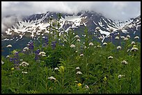 Flowers and peaks, Marmot Meadows. Kenai Fjords National Park ( color)