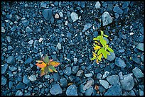 Close-up of two sapplings on soil recently uncovered by Exit Glacier. Kenai Fjords National Park ( color)
