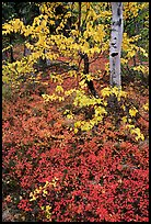 Berry plants and trees in fall colors at Onion Portage. Kobuk Valley National Park, Alaska, USA.