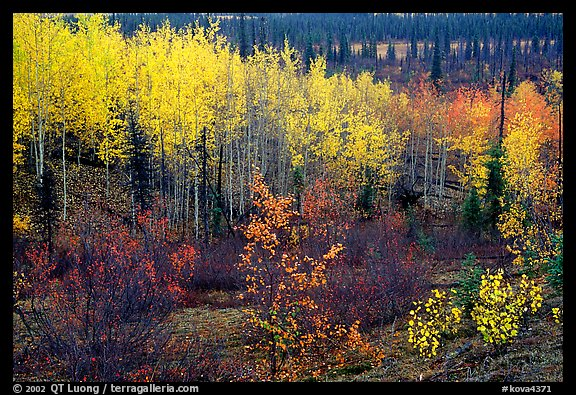 Berry plants and trees in autumn colors near Kavet Creek. Kobuk Valley National Park (color)
