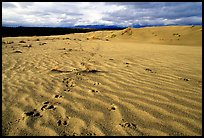 Caribou footprints and ripples in the Great Sand Dunes. Kobuk Valley National Park, Alaska, USA. (color)