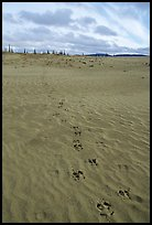 Animal tracks on the Great Sand Dunes. Kobuk Valley National Park, Alaska, USA. (color)