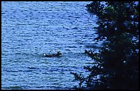 Spruce and lone caribou swimming across the river. Kobuk Valley National Park, Alaska, USA. (color)