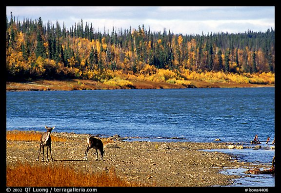 Young caribou on the shores of the river. Kobuk Valley National Park, Alaska, USA.
