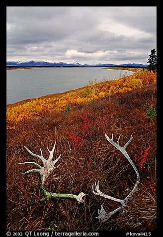 Caribou antlers, tundra, and river. Kobuk Valley National Park, Alaska, USA.