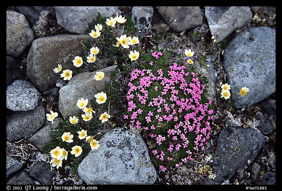 Alpine wildflowers. Lake Clark National Park (color)