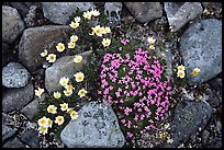 Alpine wildflowers. Lake Clark National Park ( color)