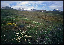 Green tundra slopes with alpine wildflowers and mountains. Lake Clark National Park ( color)