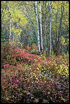 Trees and undergrowth with autumn foliage. Lake Clark National Park ( color)
